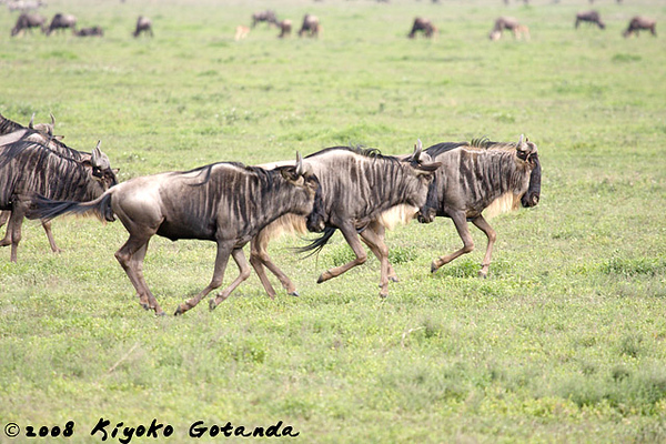 Wildebeest migration in the Serengti