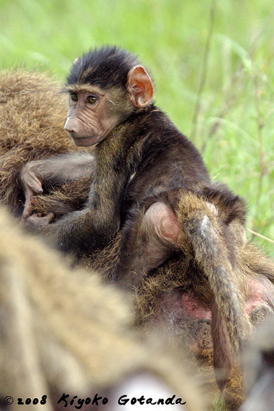 A baby baboon clings to his mother's back