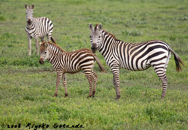 A juvenile zebra with her mother