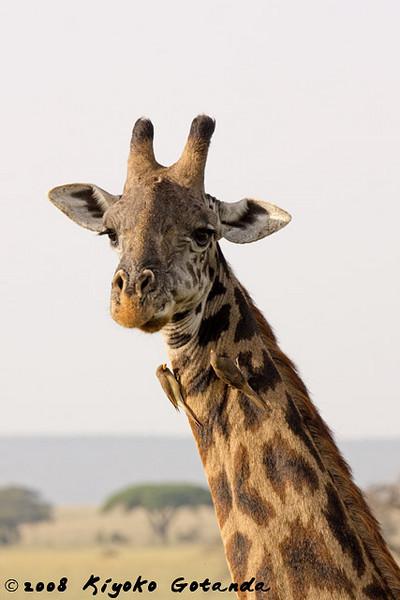 Maasai Giraffe with Yellow-Billed Oxpeckers