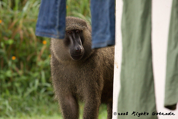 Baboon looks at laundry drying on the line