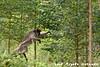 Red Colobus Monkey Jumping from tree limb to tree limb