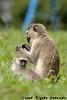 Vervet monkey female with her juvenile