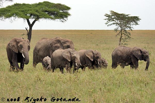 Female elephants with their juveniles
