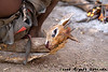 The dik dik head awaits cooking in the fire