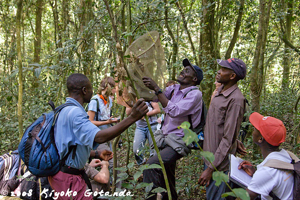The butterfly crew in Kibale show us how they collect and identify fruit eating butterflies