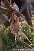 A dik dik, killed by the Hadzabe, is skinned and gutted