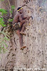 A Hadzabe climbs a baobab tree to the beehive to collect honey