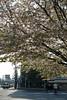 落得差不多的櫻樹
