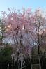 漂亮的枝垂櫻
