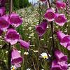 Foxgloves and daisies