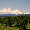 Mt. Hood with orchard