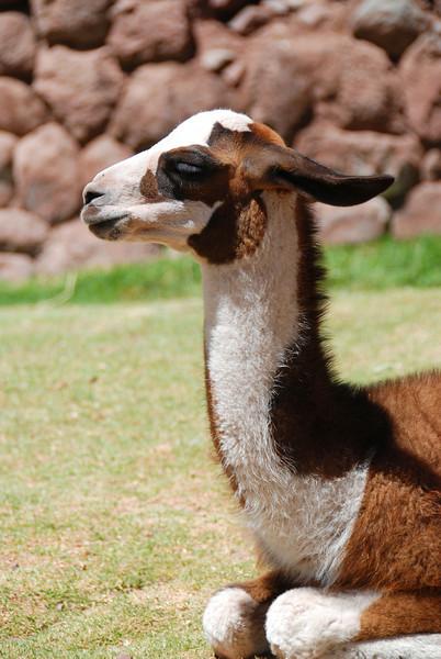 A baby llama or alpaca.
