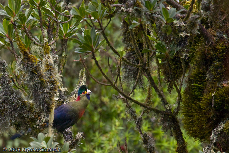 Rwenzori Turaco, endemic to the range