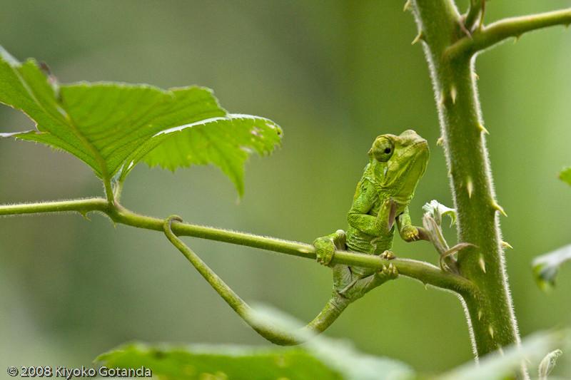 Juvenile chameleon