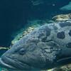 011 - grouper