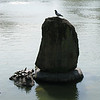 007 - turtles and birds at Nara Park Lake