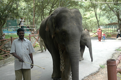The staff bring elephants out for a walk among zoo visitors.