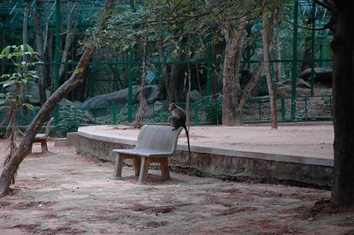 Macaque monkeys roam the Bhannerghatta zoo in Bangalore.