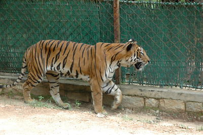 Bengal tiger at Bannerghatta zoo, Bangalore.