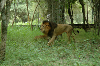 Lions of Bhannerghatta zoo.