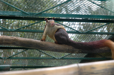A Himalayan squirrel(?) at the Bhannerghatta zoo in Bangalore.