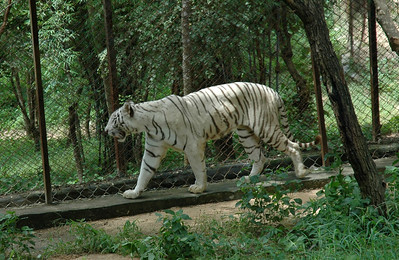 Albino(?) tiger at Bannerghatta zoo, Bangalore.