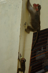 Bonnet Macaques raid the rooftop and atrium of our apartment building at IISc.