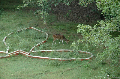 Spotted deer are prevalent on the campus of IIT Madras.