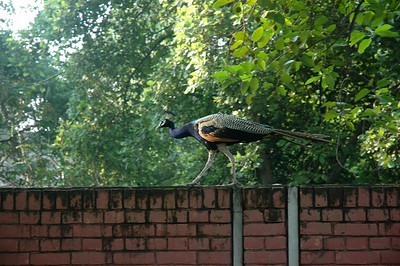 IIT Kanpur - I saw dozens of peacocks. Temples had long lines to get inside...