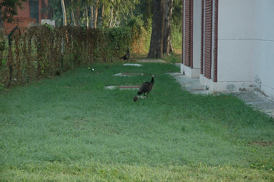 IIT Kanpur - peahens with chicks (peachicks?).