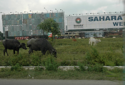 Roadside grazing, Kanpur.