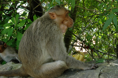 This monkey grabbed the bananas right out of Pam's hand, while she was walking to Chamundi temple in Mysore.  His mouth is stuffed with banana.