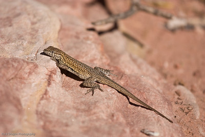 Lizard, Redrock Canyon, Nevada U.S.