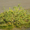 Big tuft of sea weed in the mud flats that are filled in now and then.