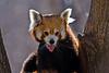 Red Panda, Hogle Zoo