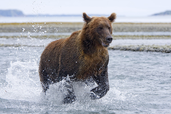 Grizzly running by trying to catch salmon. Just  30 feet from us.