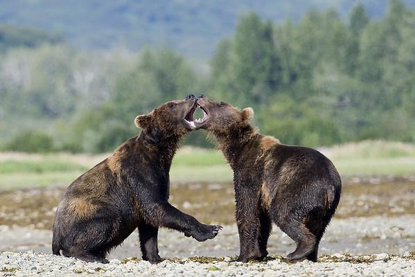 2008  Alaska  Bears, Puffins, Seals