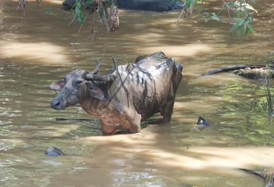 'Water' buffalo....
