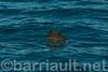 35 Foot Basking Shark