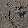 Frigatebird footprint next to mine