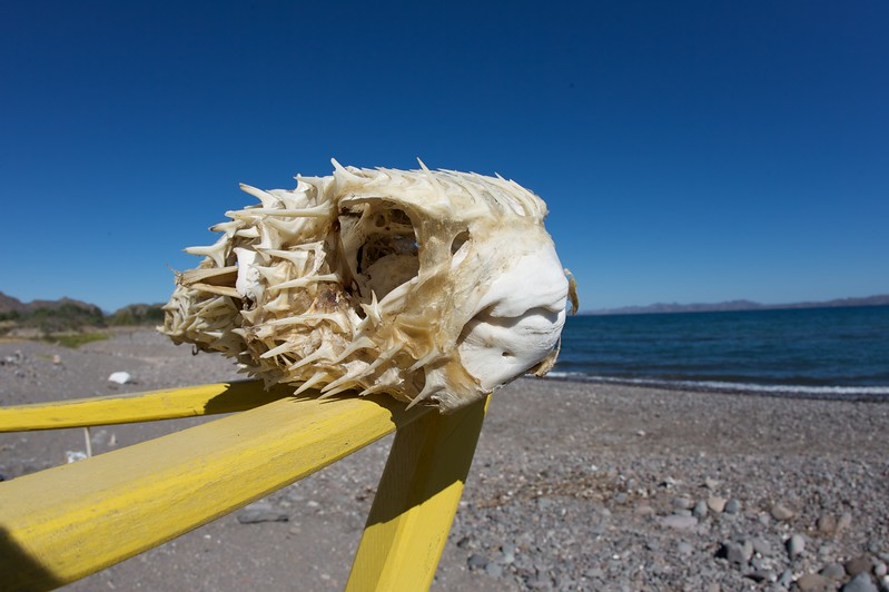 Blowfish skeleton