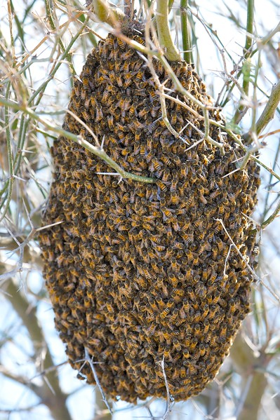 hundreds of bees without a hive