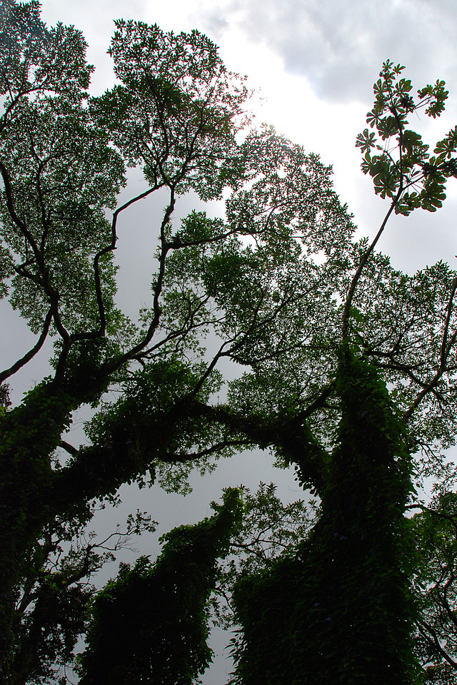 Looking up to the rain forest canopy.