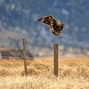 Juvenile Bald Eagle, take off.