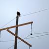 Blad Eagle.