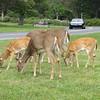 9.6.09 - Shenandoah National Park - roadside deer
