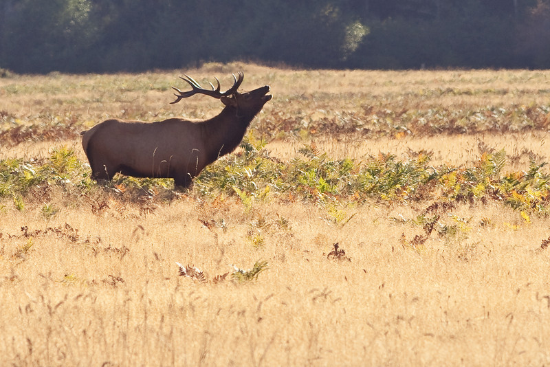 Elk at Prairie Grove Redwood Park
