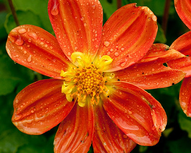 Flower after the rain