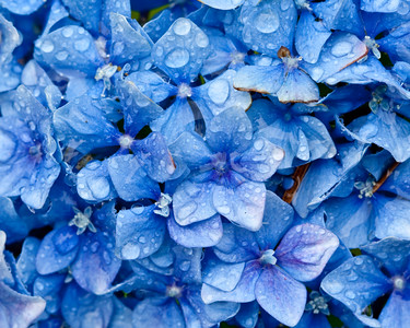 Blue hydrangea after the rain